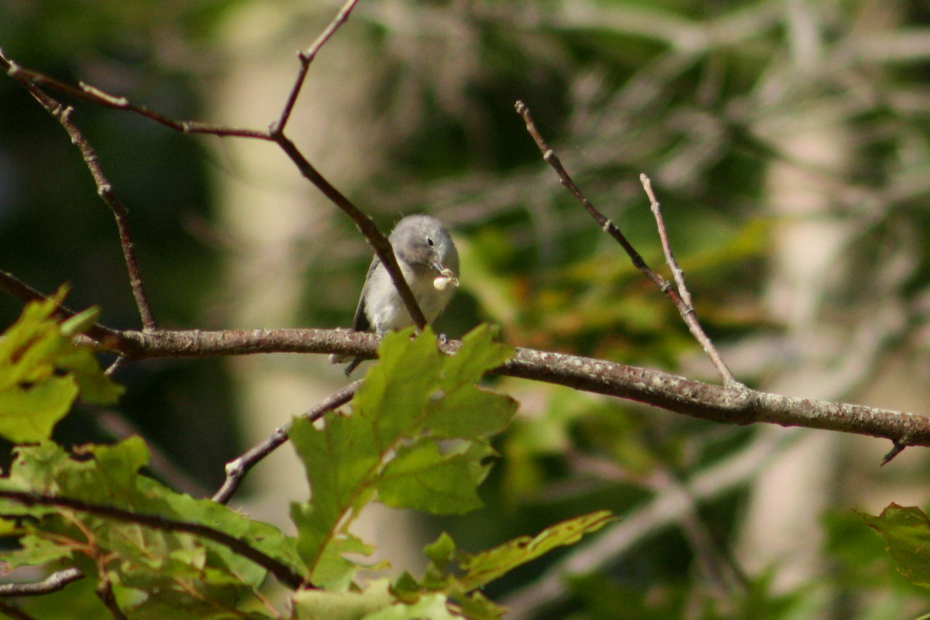 Blue-gray gnatcatcher with a spider