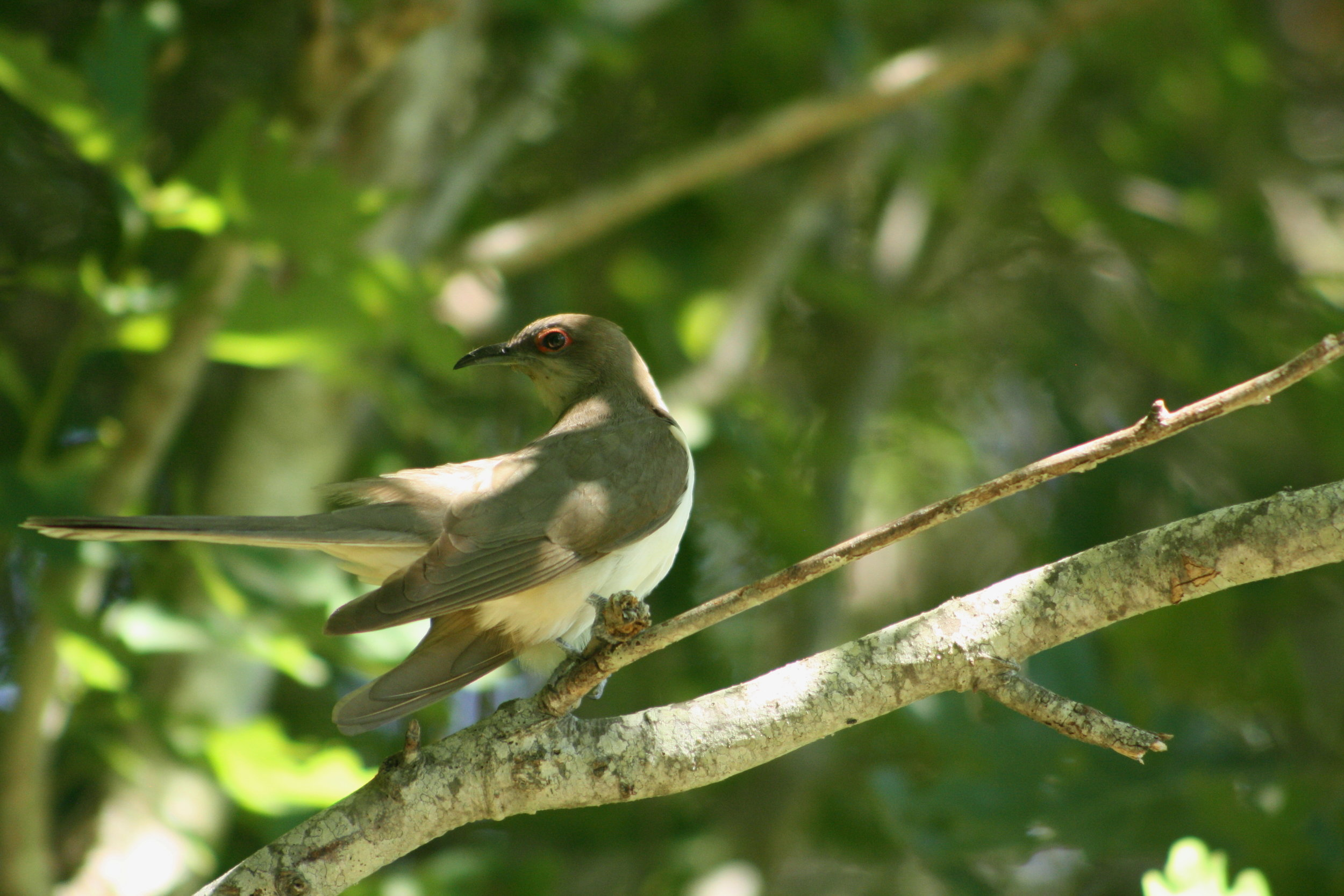 2017_07_04_black-billed cuckoo_img_6899_cr_cjackson.jpg