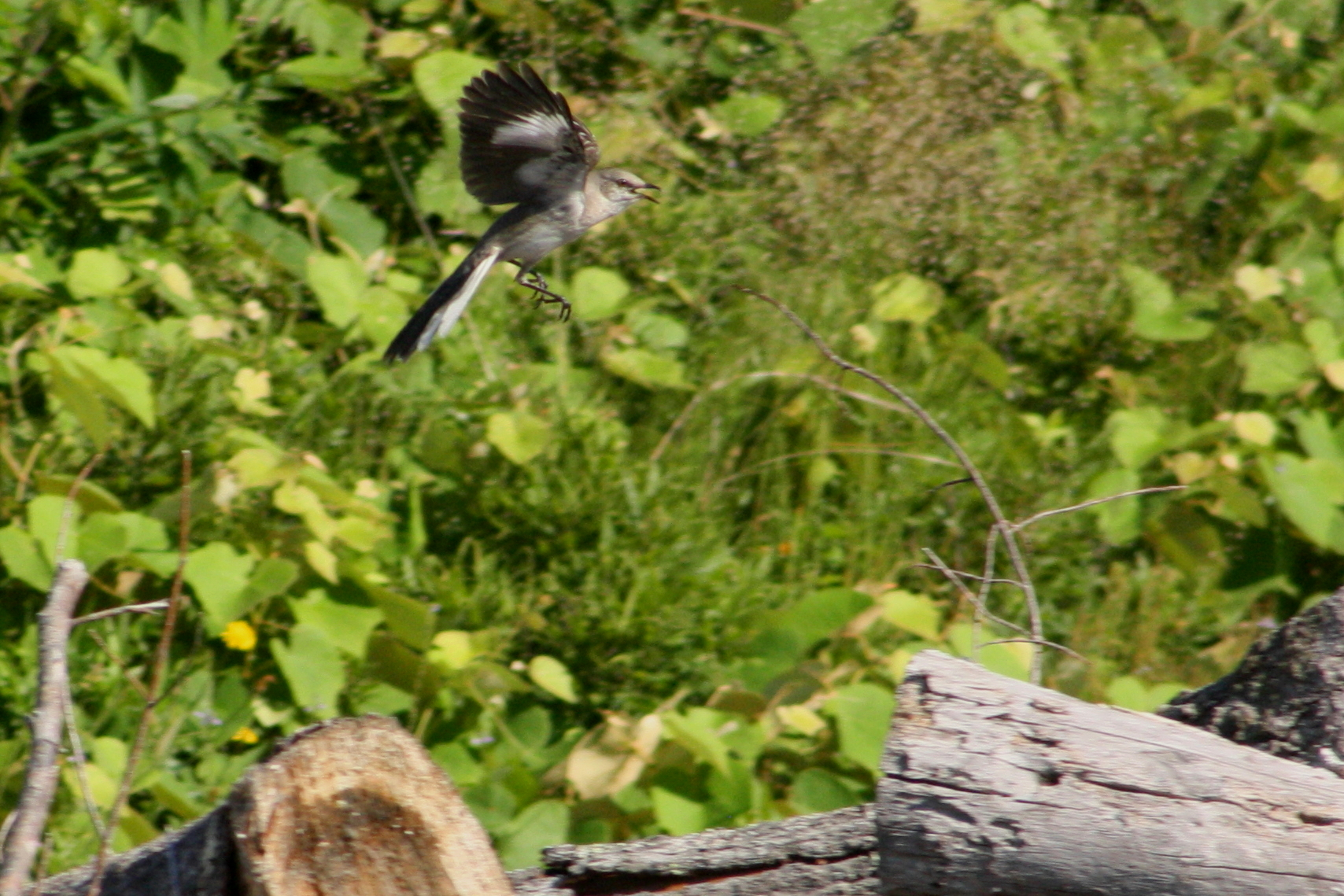 2017_06_25_northern mockingbird_img_6518_cr_cjackson.jpg