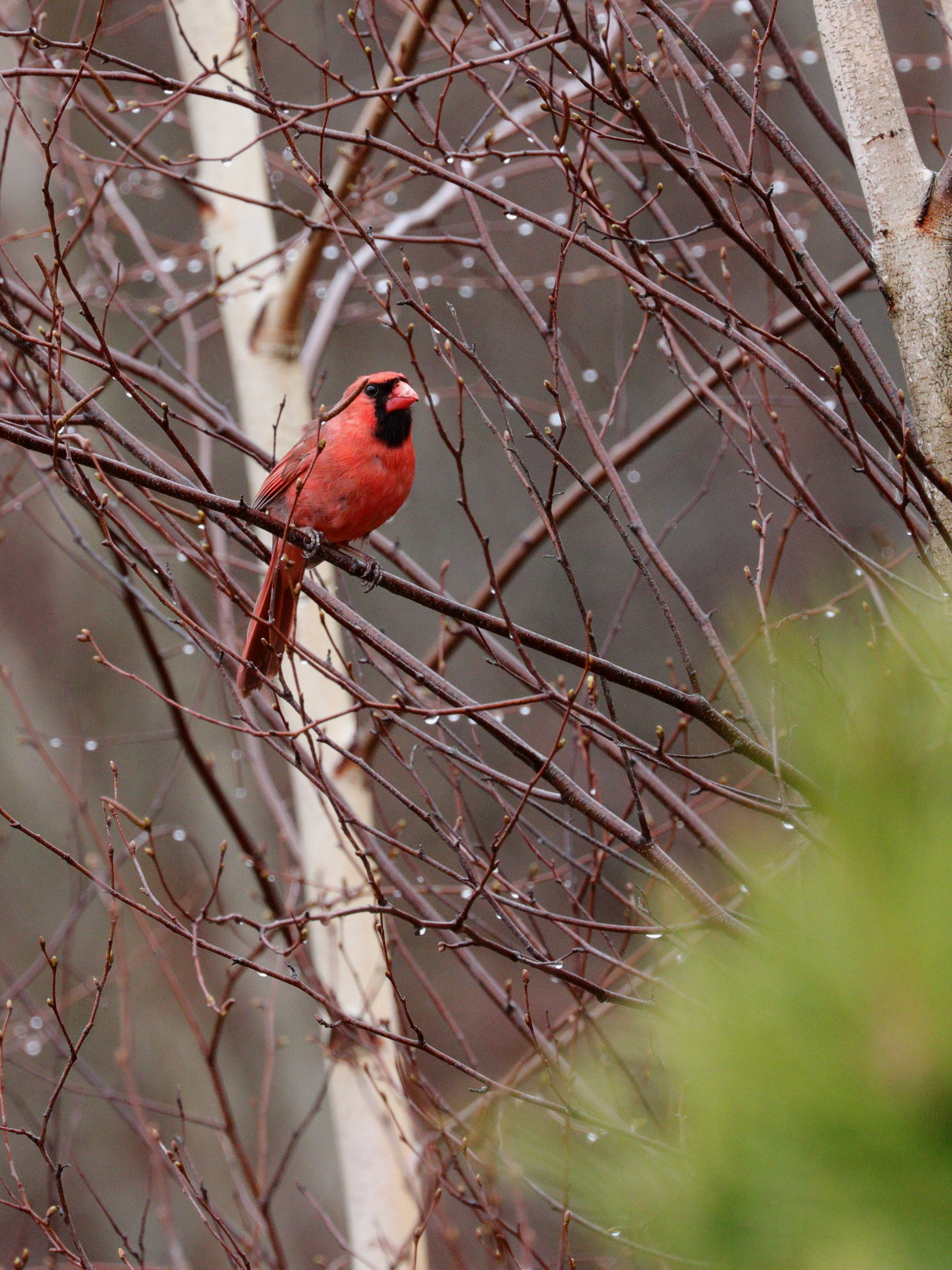 April 26, 2018 | Cardinal | Photo By: Cyndi Jackson