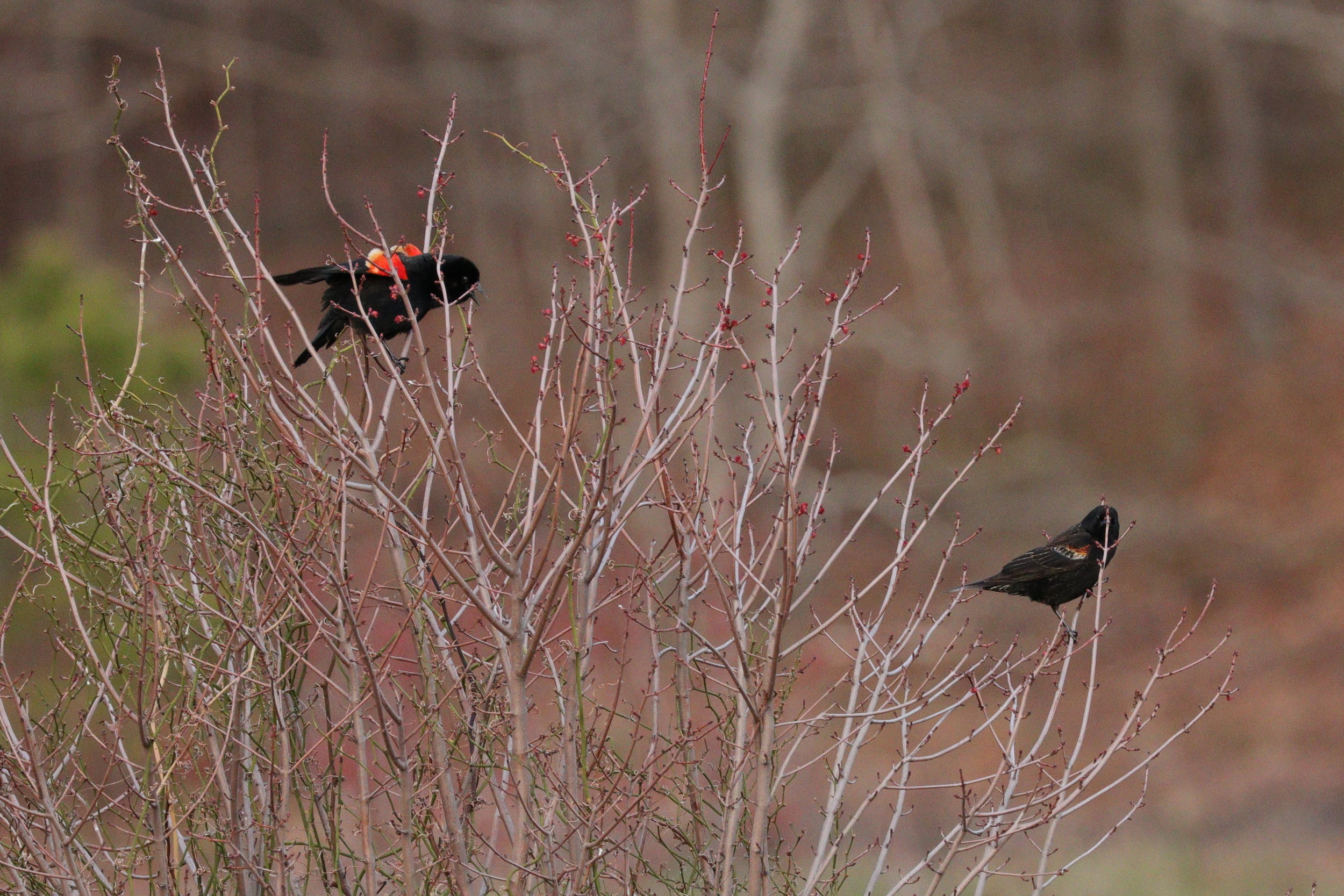 April 28, 2018 | Red Winged Blackbirds | Photo By: Cyndi Jackson