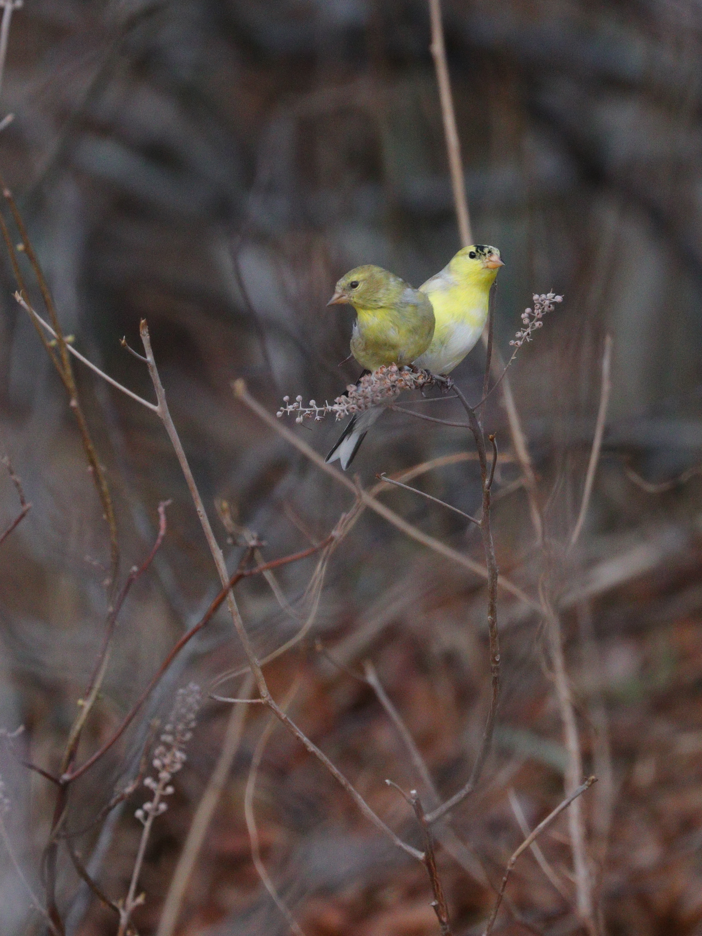 April 29, 2018 | American Goldfinches | Photo By: Cyndi Jackson