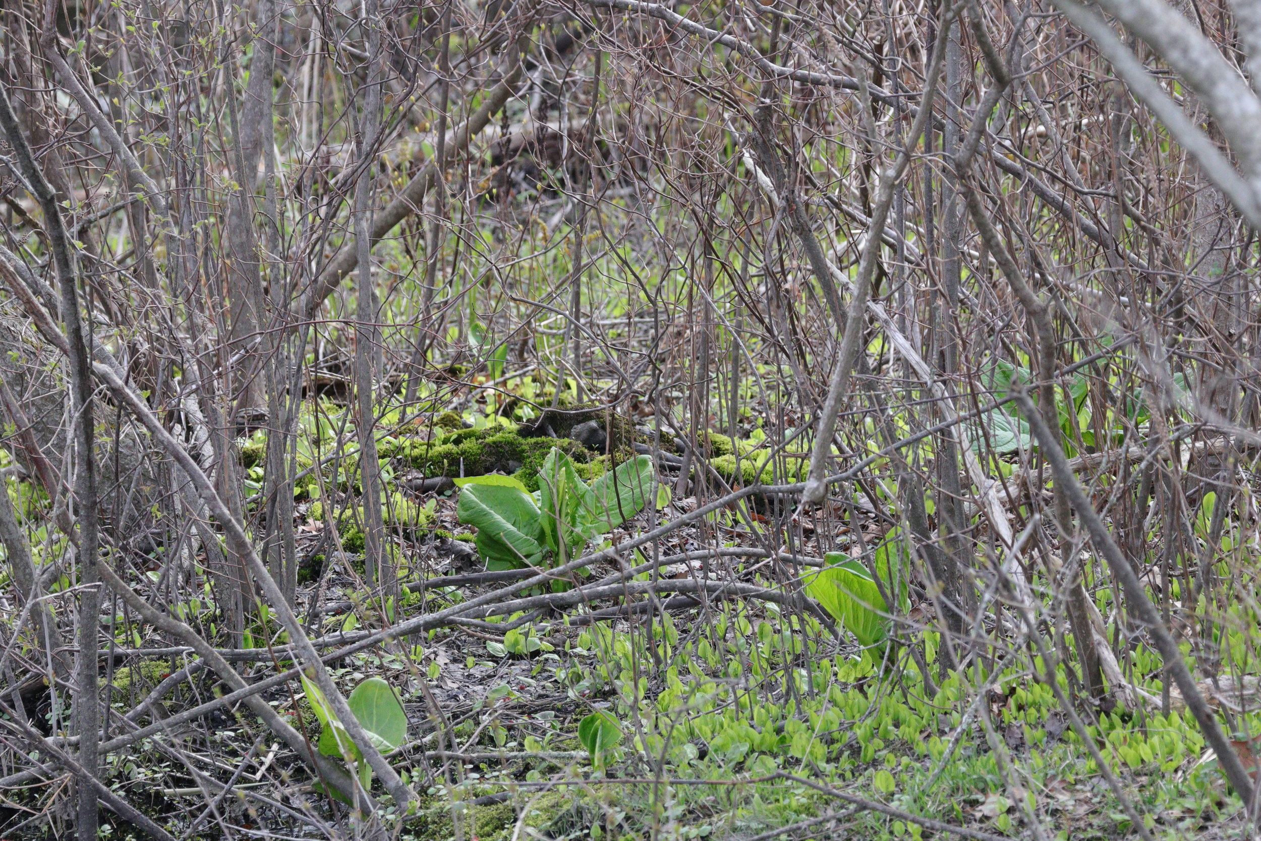 May 3, 2018 | Skunk Cabbage Emerging from the Woods | Photo By: Cyndi Jackson