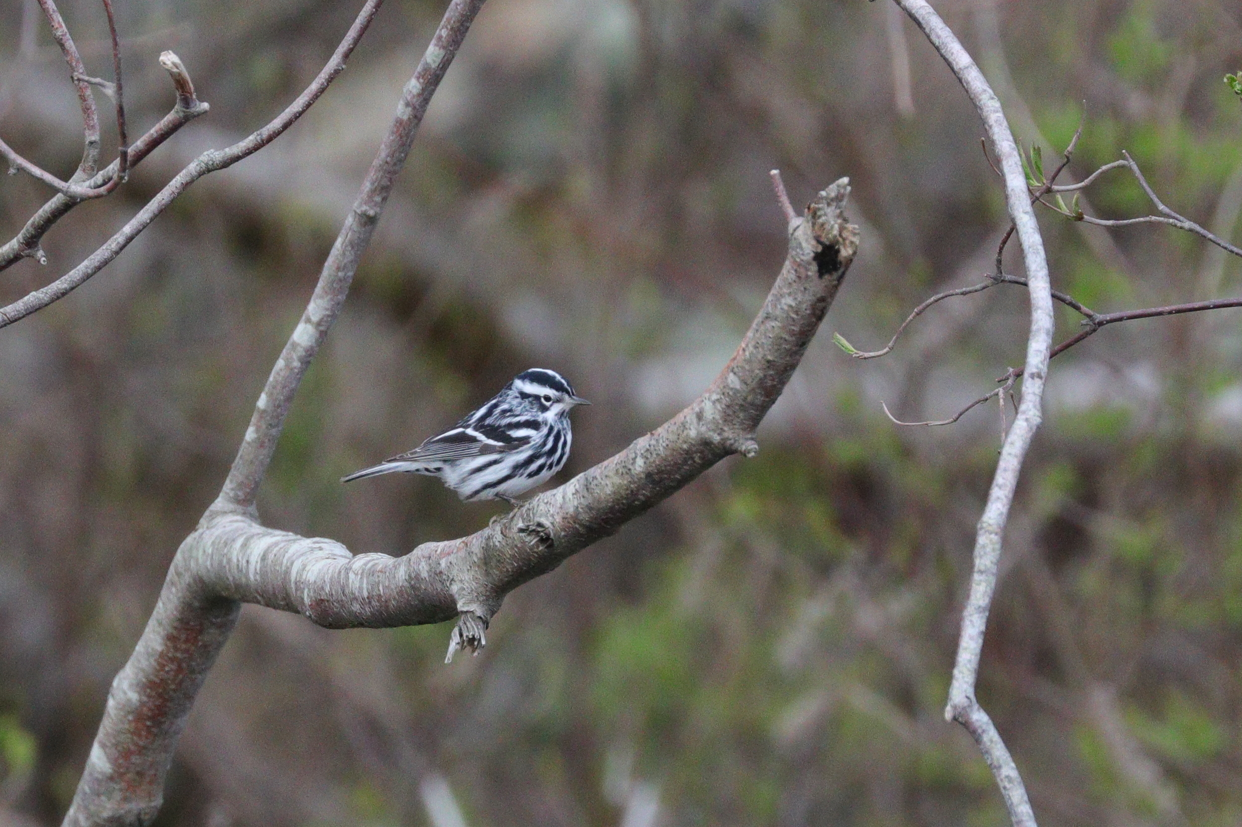 May 5, 2018 | Black and White Warbler | Photo By: Cyndi Jackson