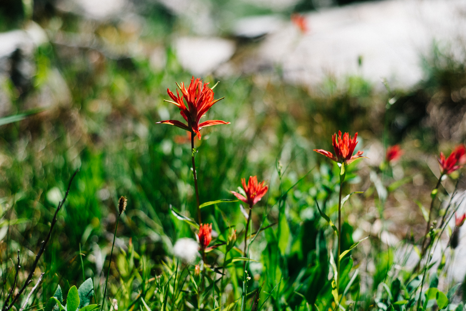 My favorite flower, the Indian Paintbrush!