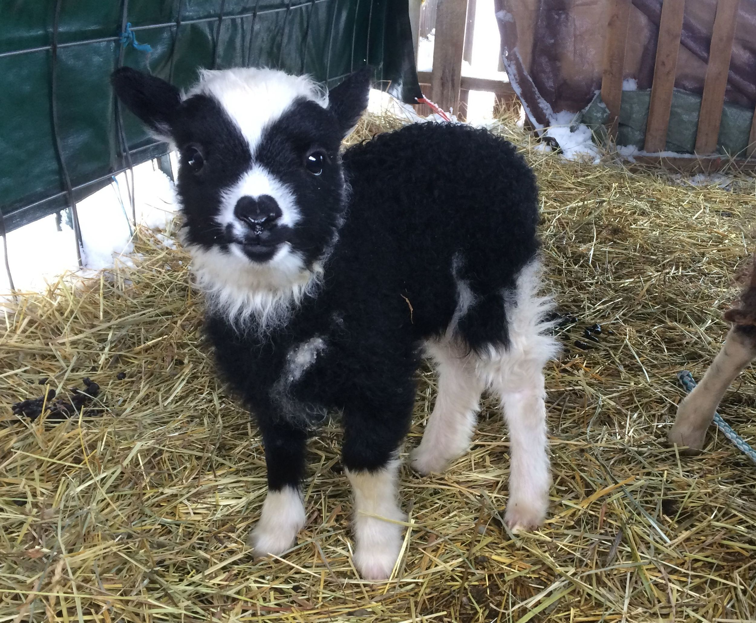 Sire: Bellwether Muckle  Dam: Whispering Pines Lilac