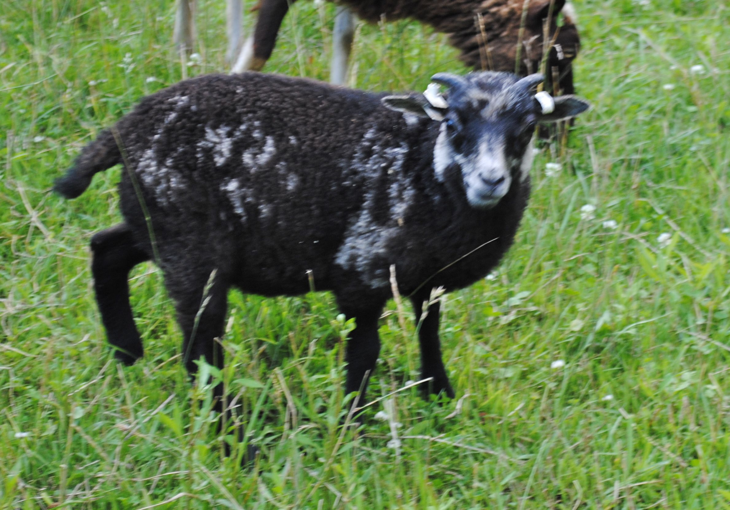 Sire: Bellwether Oiseval  Dam: Twin Springs Foula