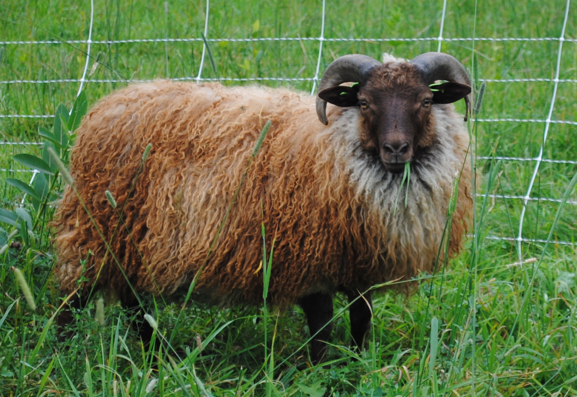 Icelandic Sheep    Learn More