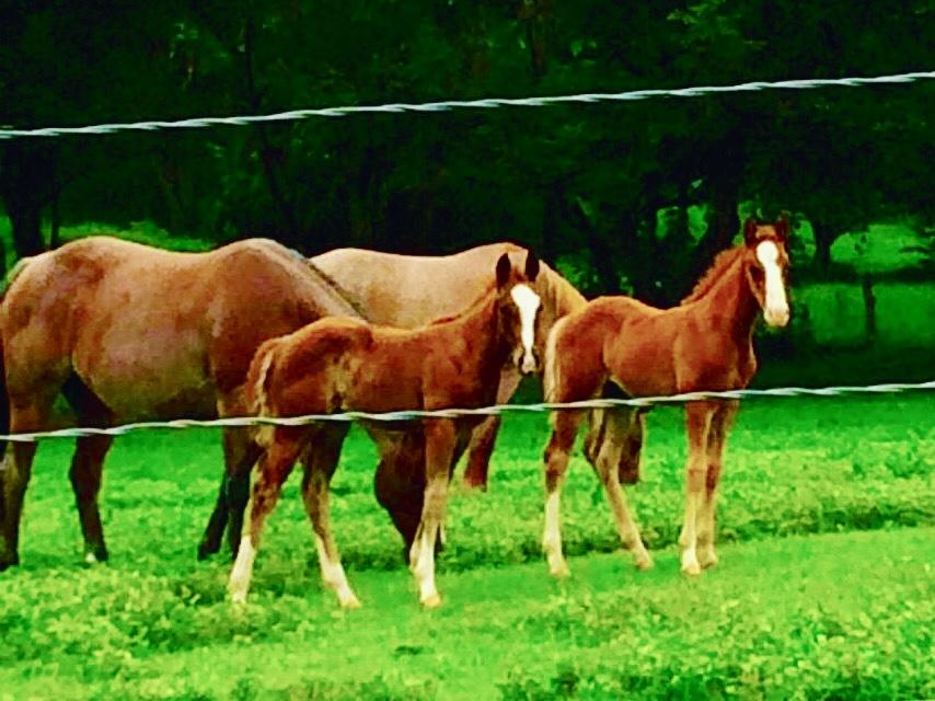 quarter horse foals costa rica