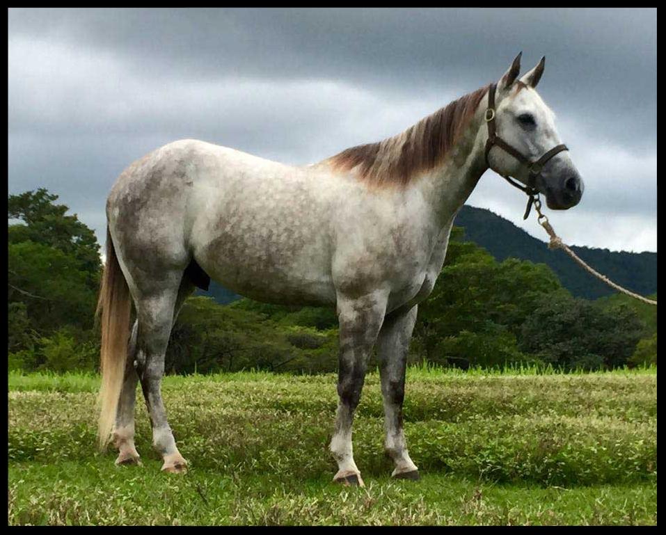 quarter horse for sale costa rica capitan