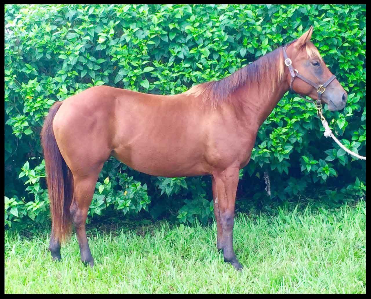 quarter horse for sale costa rica bay