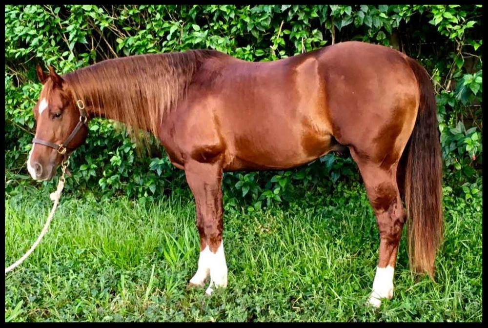 quarter horse breeding sire costa rica sl sparkin starlight