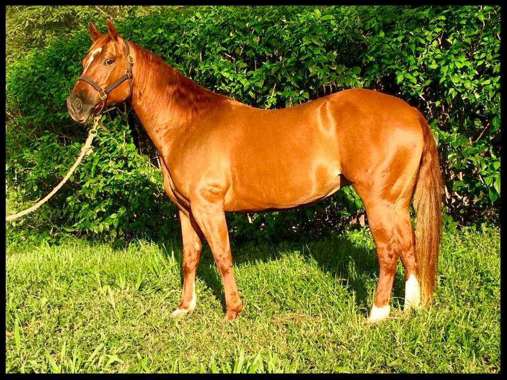 quarter horse mare costa rica ceesan