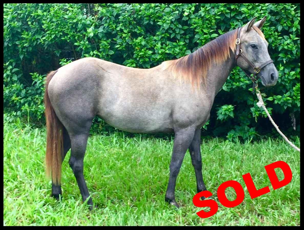 quarter horse for sale costa rica grulia