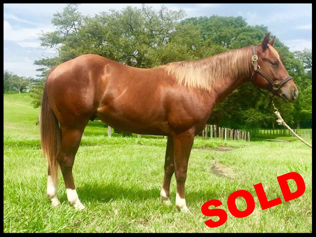 quarter horse for sale costa rica sorrel