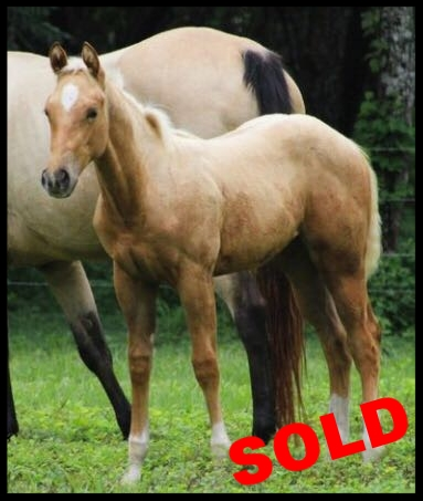 palomino foal for sale costa rica