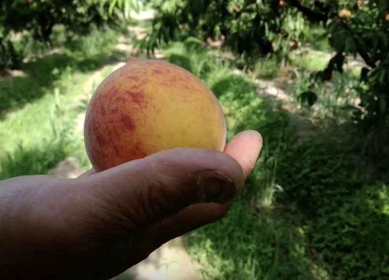 Image of peach from  Ted Talk  by Nikiko Masumoto