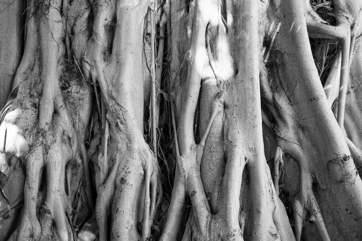 Ficus Tree Root, Huntington Tropical Garden, Pasadena, California.Photo by  Sally Krueger-Wyman.