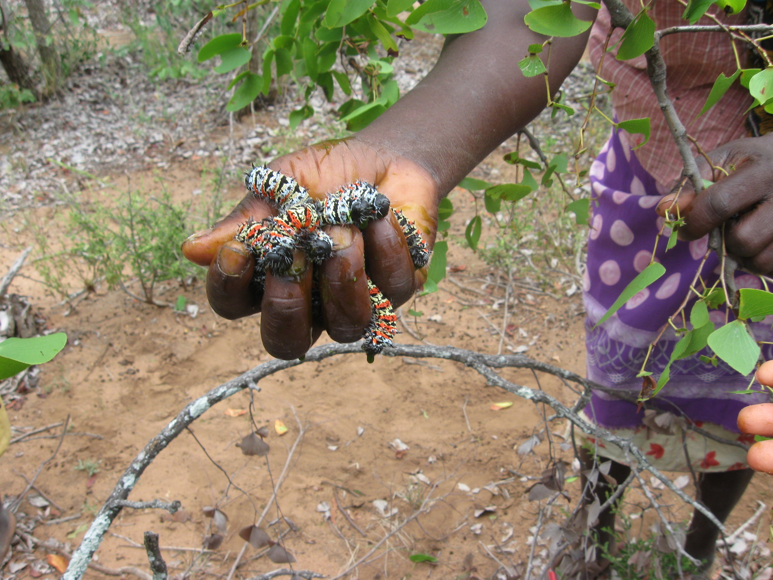 The women collected handfuls of caterpillars from the branches of moping trees (2010)