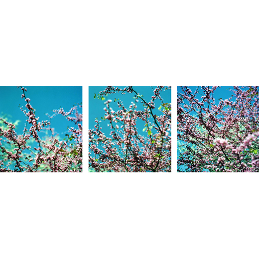 Cherry Blossom Series