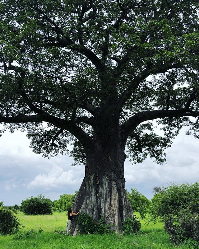 During the course of the fundraiser I'll be sharing some photos of forests and trees from my travels along with some interesting stories about them to raise awareness about the magic of our planet's forests. 🌲🌴🌳 First up! The Baobab: Fun Facts About Africa's Tree of Life  1. Baobabs are known toexceed 1,500 years of age. 2. After reaching 1,000 years, baobabs start to become hollow inside, and people of have made the most of this natural feature by creating bars, wine cellars, post offices, and even prisons in their interiors.  3. The baobab is a life-giver for African wildlife, often creating its very own ecosystem. Animals like baboons and warthogs eat the seed pods; weavers build their nests in the huge branches; and barn owls, mottled spinetails and ground-hornbills roost in the many hollows. The creased trunks and hollowed interiors also provide homes to countless reptiles, insects and bats. It provides food and shelter for a myriad of species, from the tiniest insect to the mighty African elephant.  4. Baobabs behave like a giant succulent and up to 80% of their trunk is water. A single tree can hold up to 4,500 liters (1,189 gallons) at once. Because of this, many species including elephants chew their bark in dry seasons to drink water. 5. Baobabs are deciduous and their bat-pollinated flowers bloom at night. 6. Recently, the Western world has hailed the baobab fruit as the ultimate superfruit, thanks to its high levels of calcium, iron, potassium andVitamin C. Some reports state that the fruit's pulp has almost ten times the amount of Vitamin C as the equivalent serving of fresh oranges. 7. Baobabs are often referred to as upside-down trees, thanks to the root-like appearance of their tangled branches.Many tribes believe thatthe baobab once grew upright, but it considered itself so much better than the lesser trees around it that eventually the gods decided to teach the baobab a lesson. They uprooted it and planted it upside down, in order to stop its boast