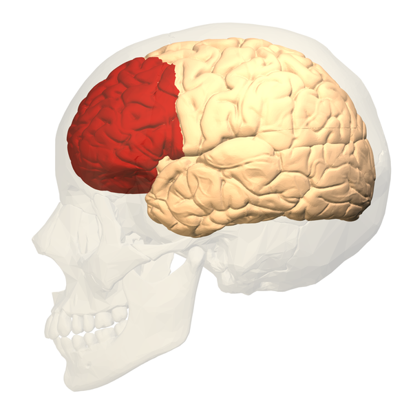 "Prefrontal Cortex - ""BodyParts3D, © The Database Center for Life Sciences, licensed under CC Attribution-Share Alike 2.1 Japan."""