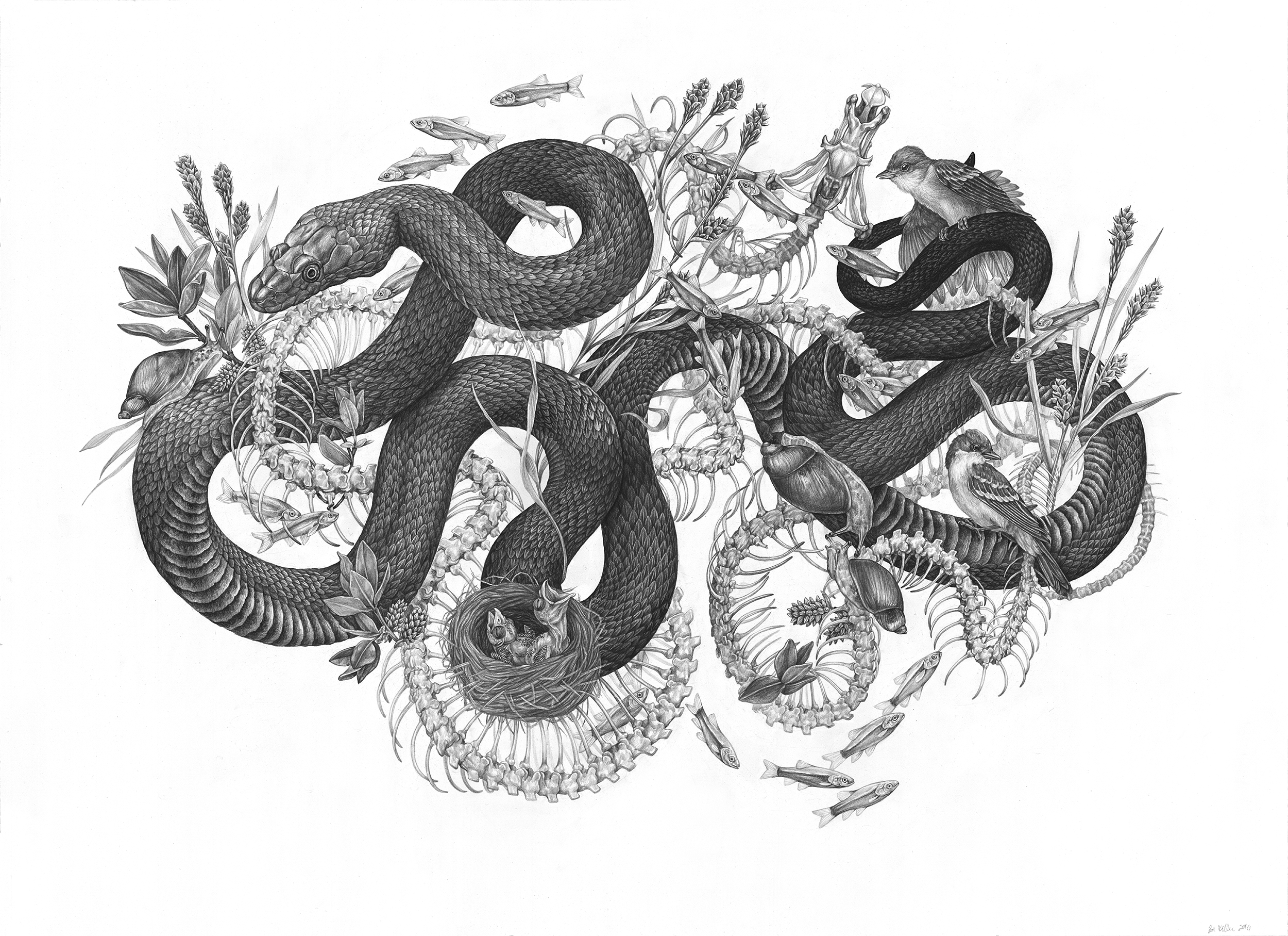 "Riparian , Graphite on Paper, 2016, 36"" x 26"""