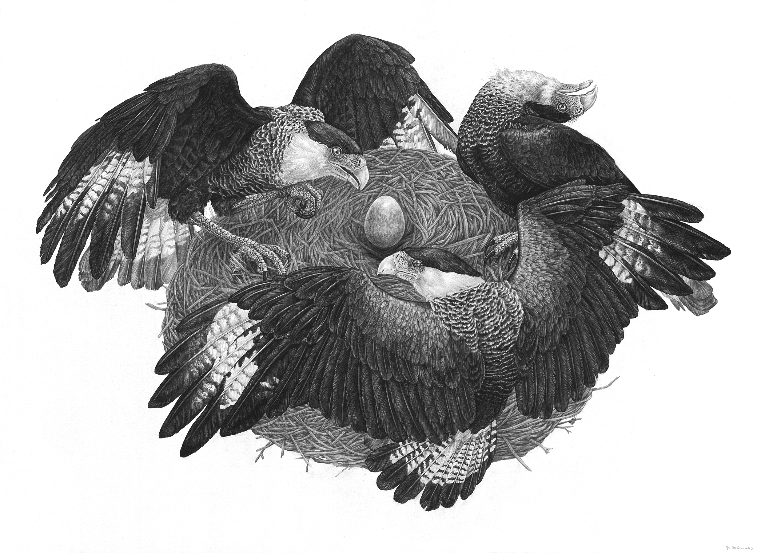 "Caracara , Graphite on Paper, 2016, 42"" x 30"""