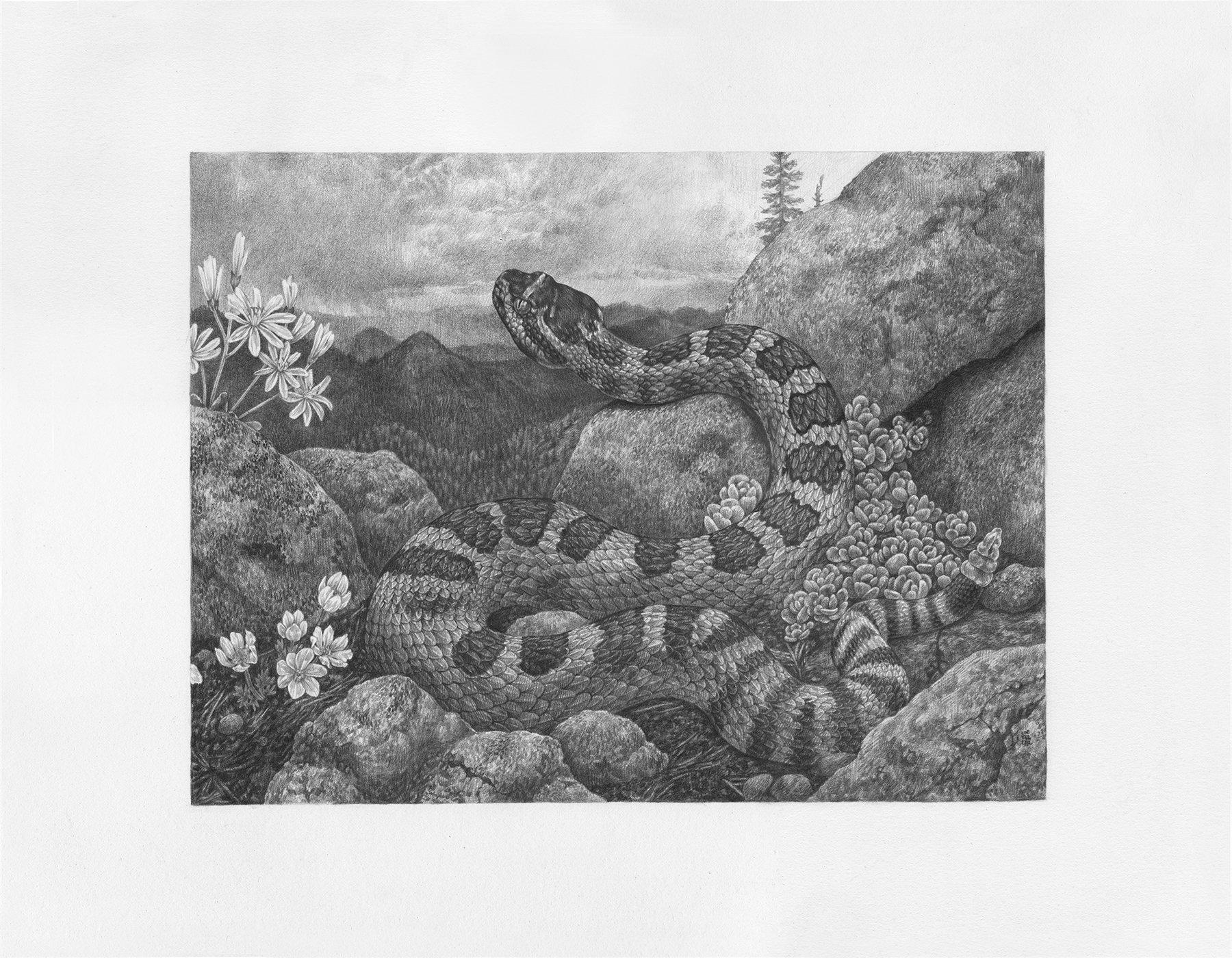 """Crotalus Viridis Oreganus, 14"""" x 18"""", Graphite on paper, 2018"""