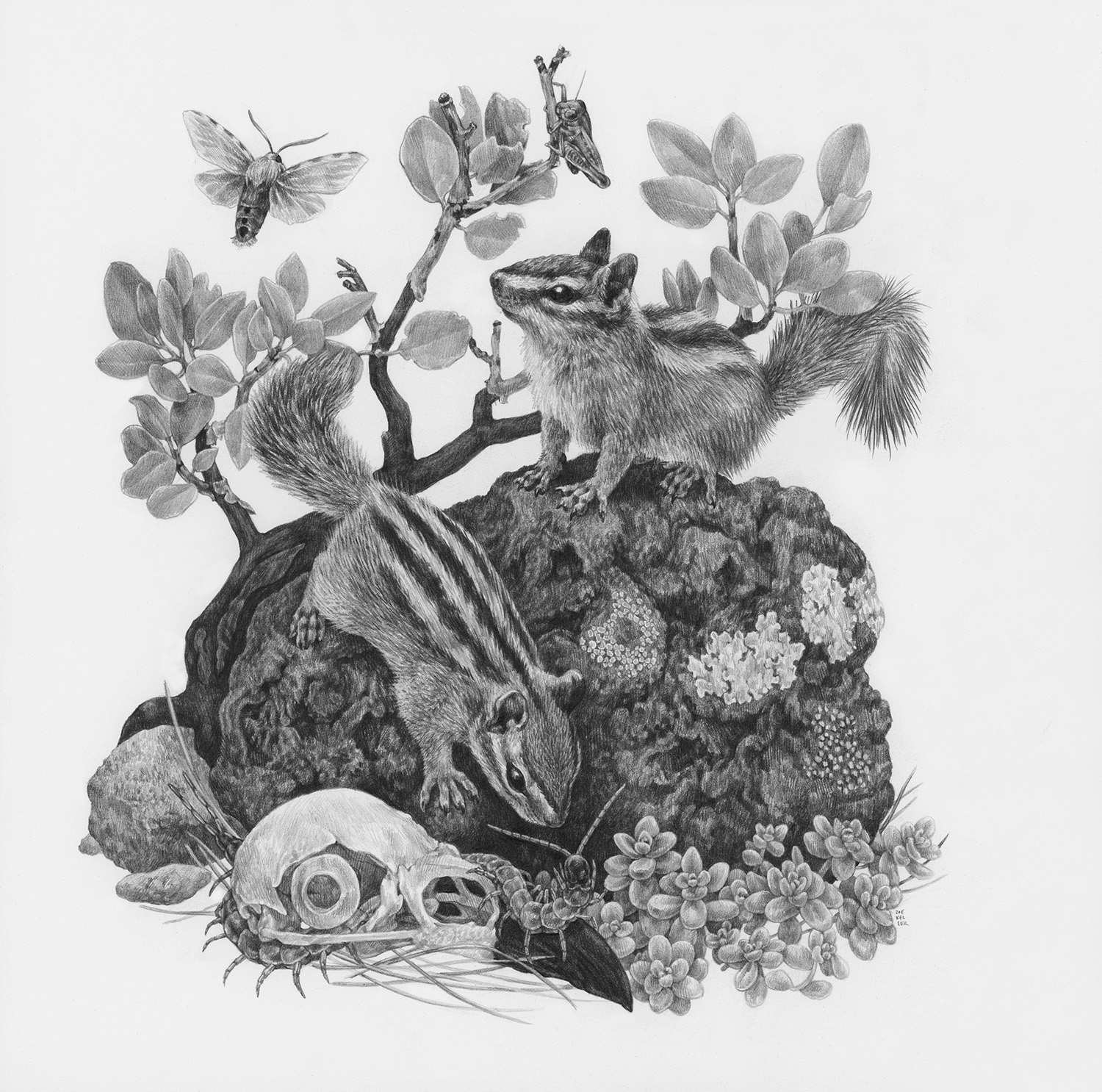 "Angel's Landing, 12"" x 12"", Graphite on paper, 2019  Click here to purchase through Antler Gallery   SPECIES DEPICTED  Cliff Chipmunk, Edward's Glassy-winged Moth, Giant Desert Centipede, Greenleaf Manzanita, observed but unidentified grasshopper and succulent"