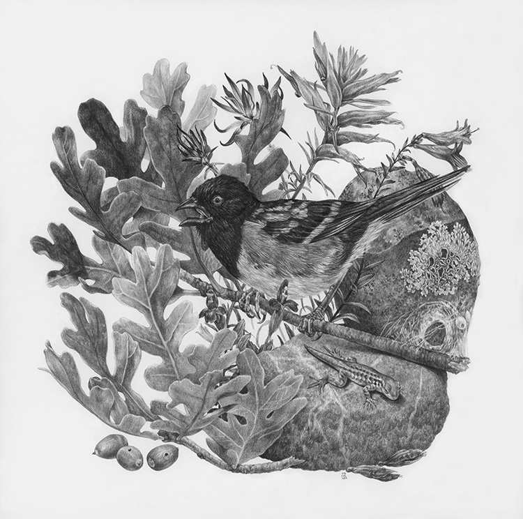 "Observation Point, 12"" x 12"", Graphite on paper, 2019 Sold  SPECIES DEPICTED  Spotted Towhee, Gambel Oak, red flowers (clockwise from top left: Desert Paintbrush, Eastwood's Paintbrush, Hummingbird Flower, Scarlet Monkeyflower) observed but unidentified lizard"