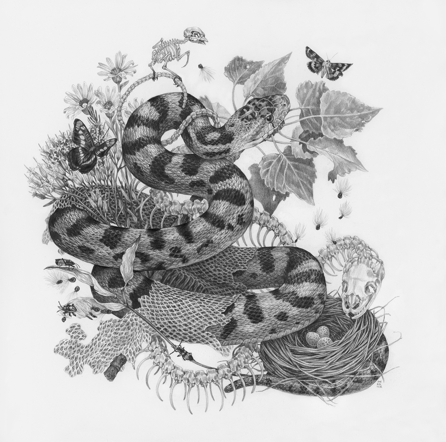 "Pa'Rus, 12"" x 12"", Graphite on paper, 2019 Sold  SPECIES DEPICTED  Gopher Snake, Arizona Sister butterfly, Junco nest, Apholibah Underwing Moth, Large Milkweed Bug, Small Milkweed Bug nymph, Fremont Cottonwood leaves, observed but unidentified wildflowers"