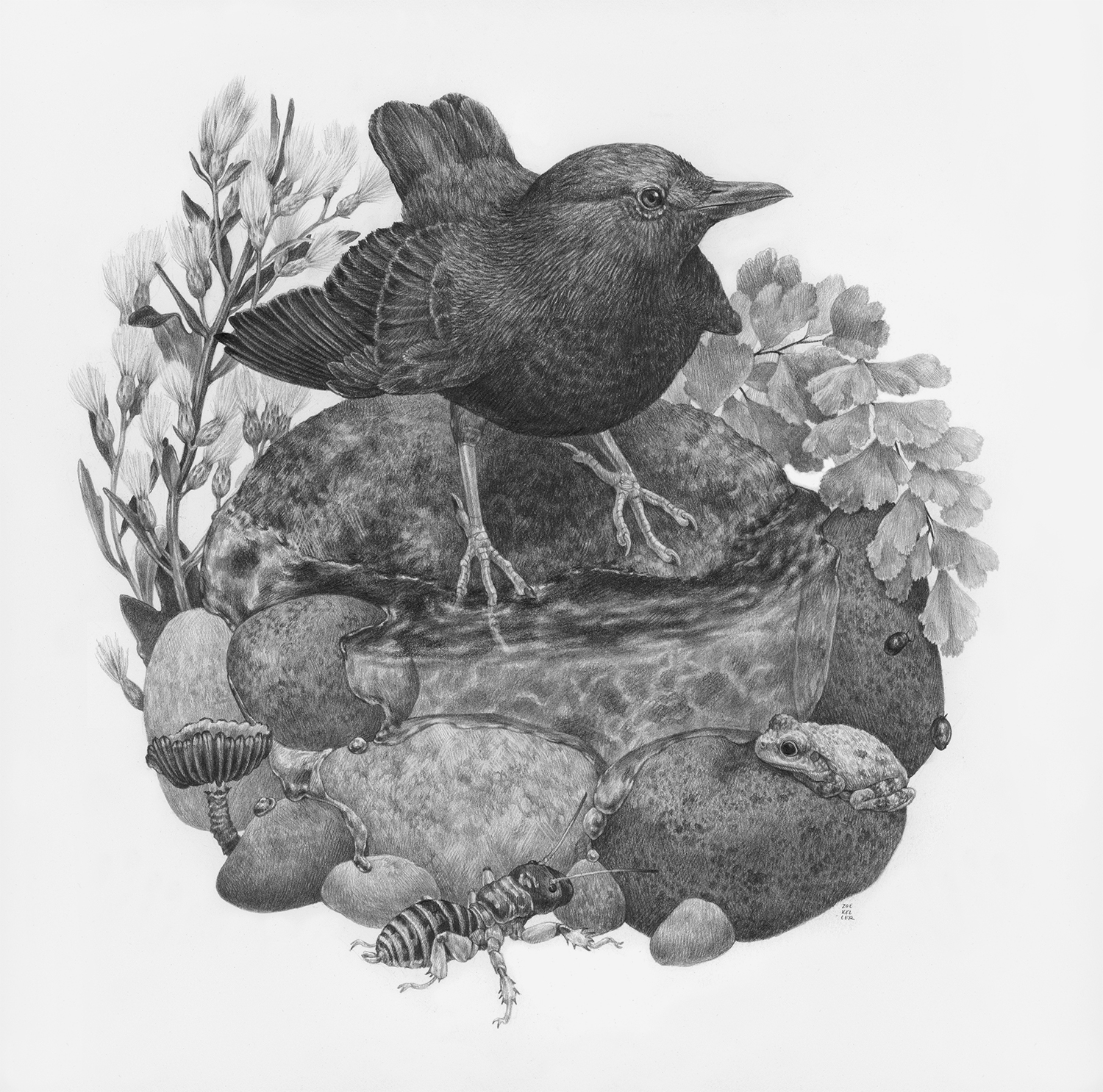 "Riverside Walk, 12"" x 12"", Graphite on paper, 2019  Click here to purchase through Antler Gallery   SPECIES DEPICTED  American Dipper, Canyon Tree Frog, Jerusalem Cricket, Maidenhair Fern, Coyote Bush, and a small unidentified gilled mushroom"