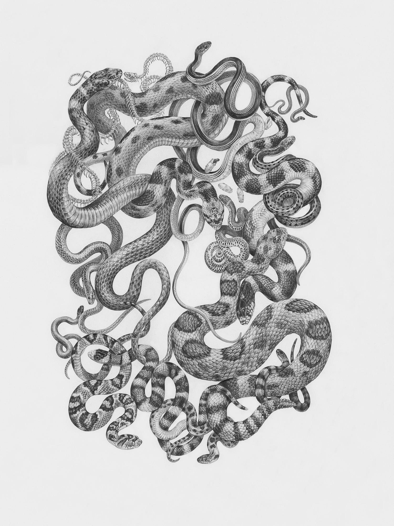 """Snakes of Zion National Park, 18"""" x 24"""", Graphite on paper, 2019   Click here to purchase through Antler Gallery   SPECIES DEPICTED  Desert Striped Whipsnake, Ring-necked Snake, Wandering Gartersnake, Gopher Snake, Great Basin Rattlesnake, California Kingsnake, Groundsnake, Nightsnake, Western Lyresnake, Sonoran Mountain Kingsnake, Smith's Black-heaeded Snake, Mohave Patch-nosed Snake, Red Racer"""