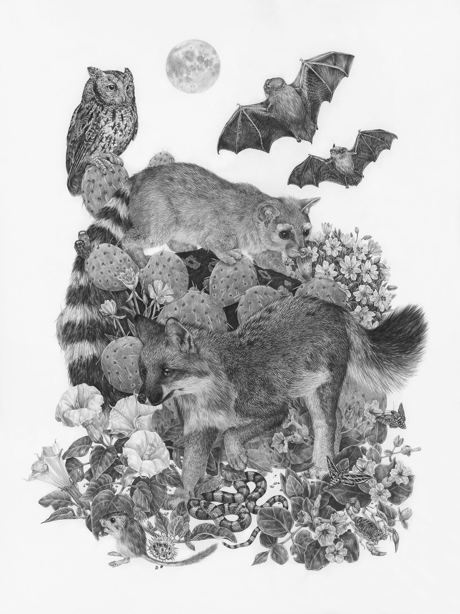 "Zion at Night, 18"" x 24"", Graphite on paper, 2019   Click here to purchase through Antler Gallery   SPECIES DEPICTED  Species most commonly spotted after dark: Ringtail Cat, Gray Fox, Western Screech Owl, Merriam's Kangaroo Rat, Western Red Bat (larger bat), Western Pipistrelle (smaller bat), Giant Desert Hairy Scorpion, Five Spotted Hawkmoth, White-lined Sphinx Moth, Sonoran Mountain Kingsnake, wildflowers, clockwise from top right: Tufted EveningPrimrose, Four O'clock, Sacred Datura, Bridge's Evening Primrose, cactus species was observed and photographed but not definitively identified"