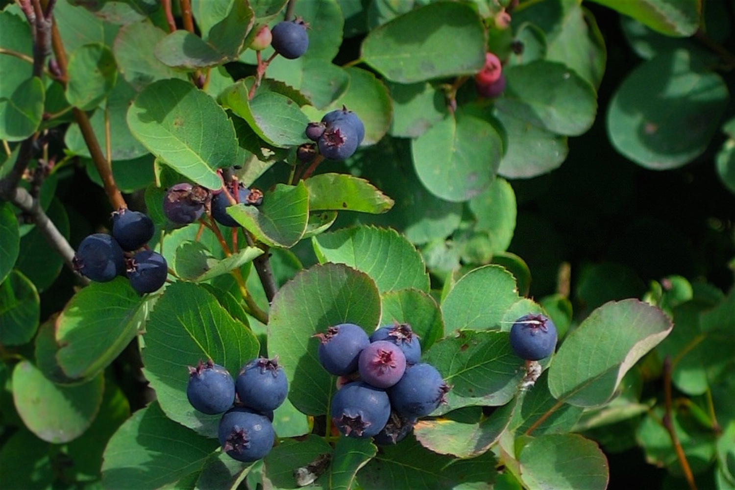 Saskatoons ( Amelanchier alnifolia ) are ripe and ready for picking in July...