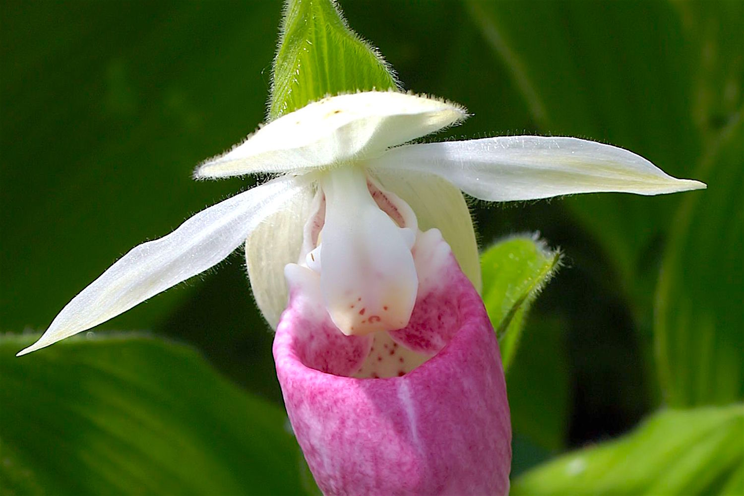 "The Showy Lady's-slipper  (Cypripedium reginae) , a rare orchid that graces the ""back forty"" at Solace House..."