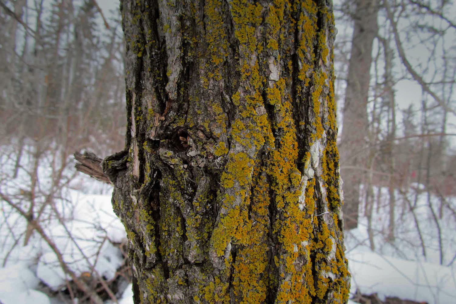 Burr oak  (Quercus macrocarpa)  with a handsome sheen of resident lichens...