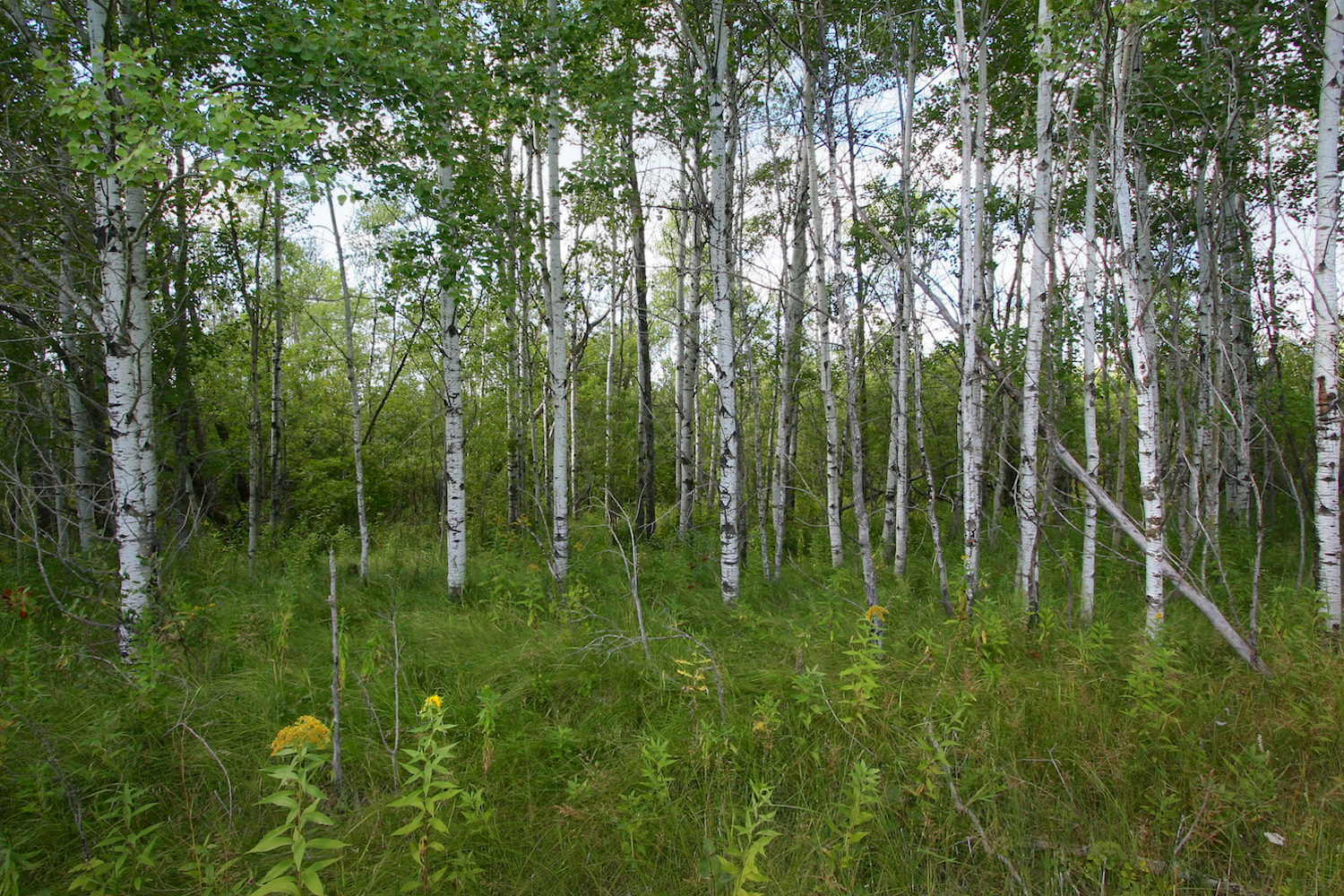 Trembling aspen  (Populus tremuloides)  along the edge of the large meadow...