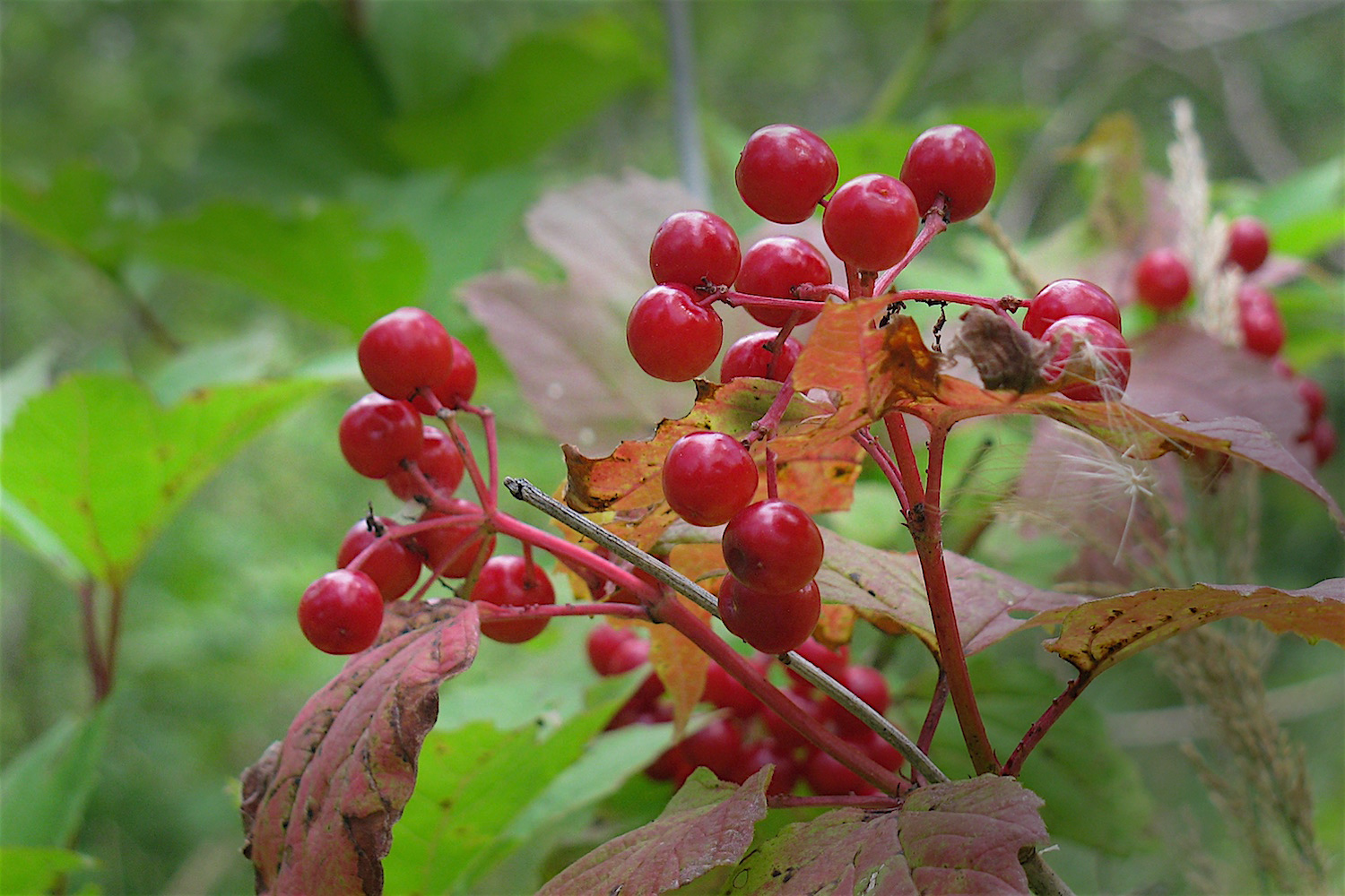 High bush cranberry  (Viburnum trilobum) ... resplendent in its August glory.