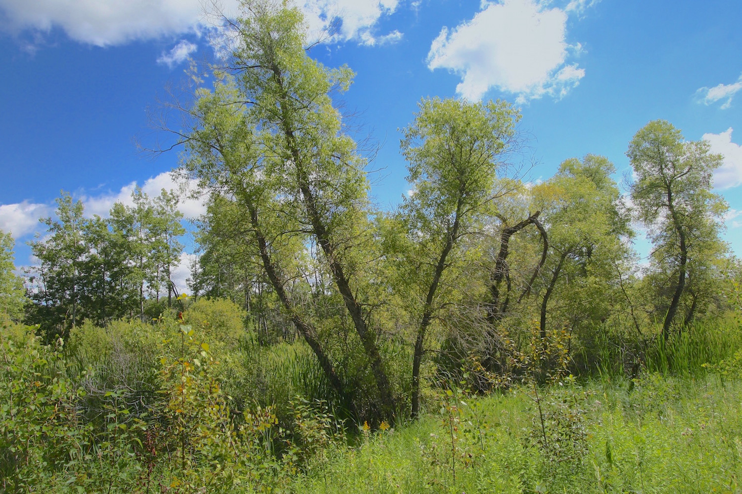 The old willows (genus  Salix ) that grow from the embankment of the smaller marsh near the center of the acreage...