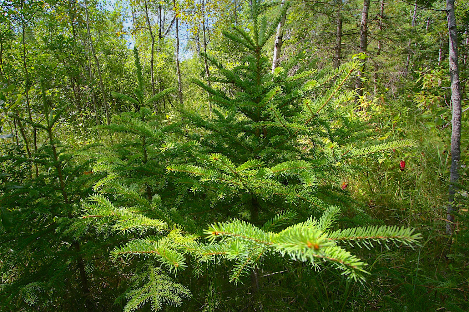 White spruce seedlings  (Picea glauca)  springing up along the trail...