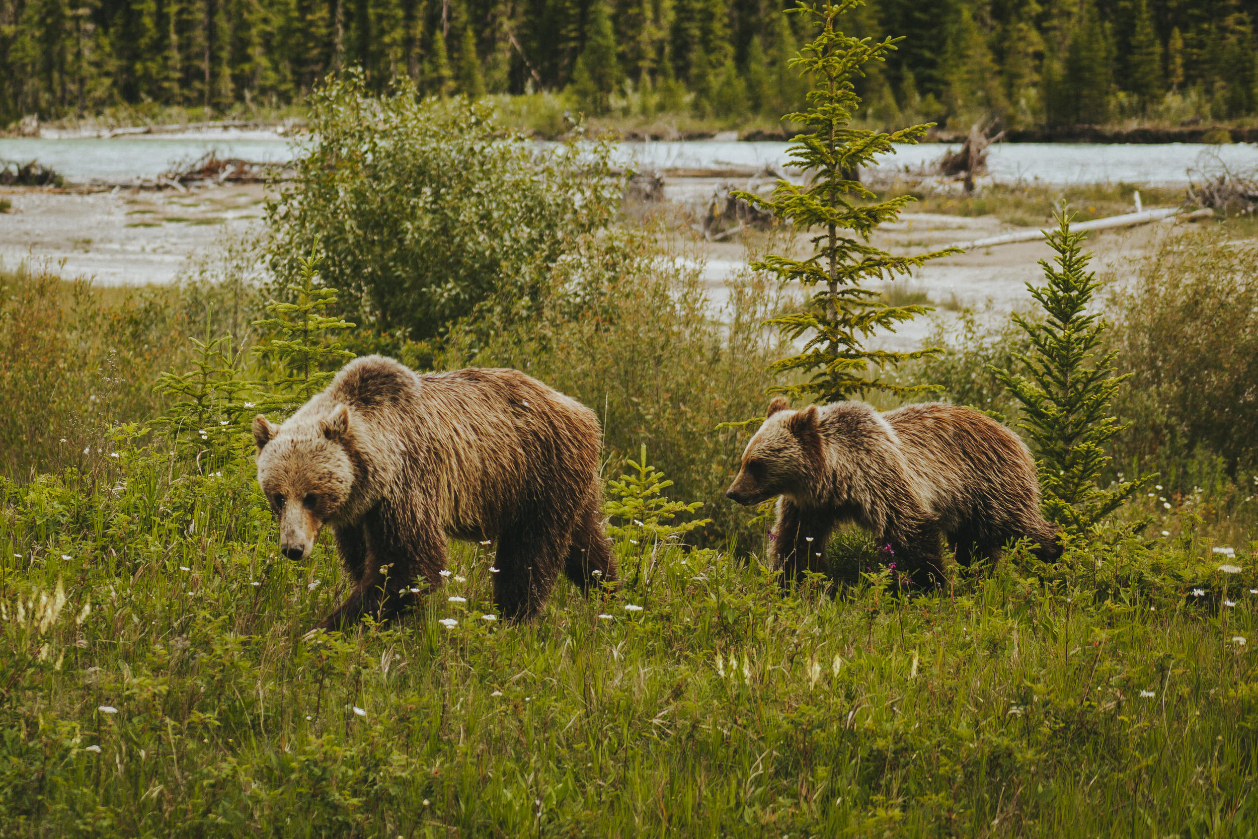 Wild Grizzlies Roaming the Canadian Rockies