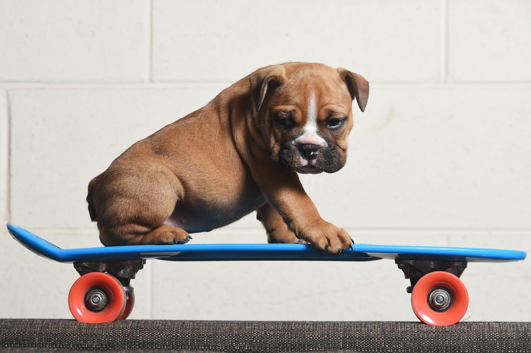 CHP_Export_121533012_Six-week-old Australian Bulldog puppy Charlie-Jaxon could be the next skate boa.jpg