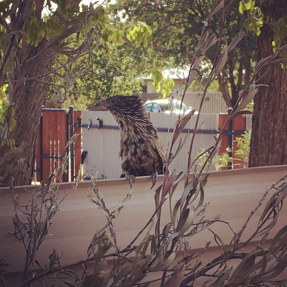 An unknown bird in Alice Springs.