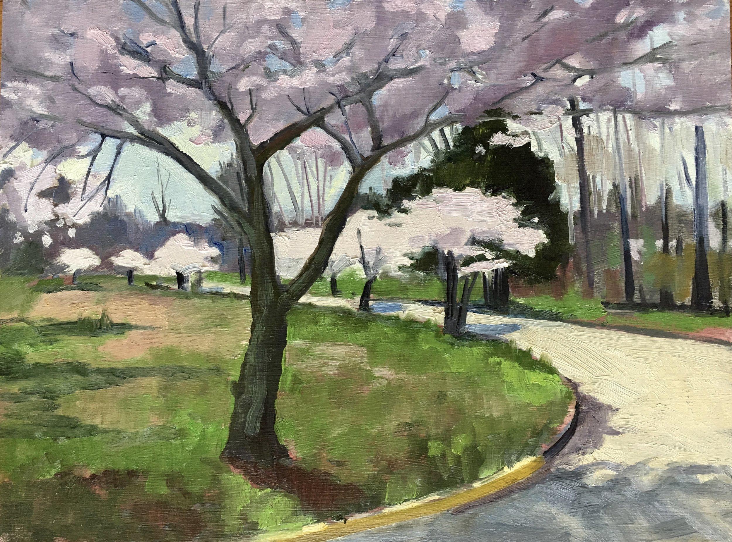 Lexington Park Cherry Blossoms