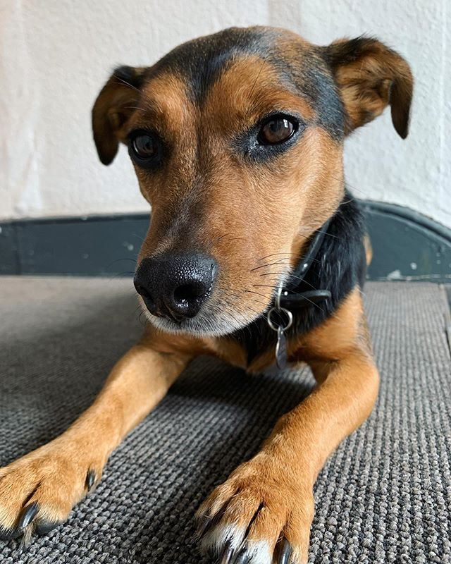 Dash - our latest ARK coworking doggo 🧡