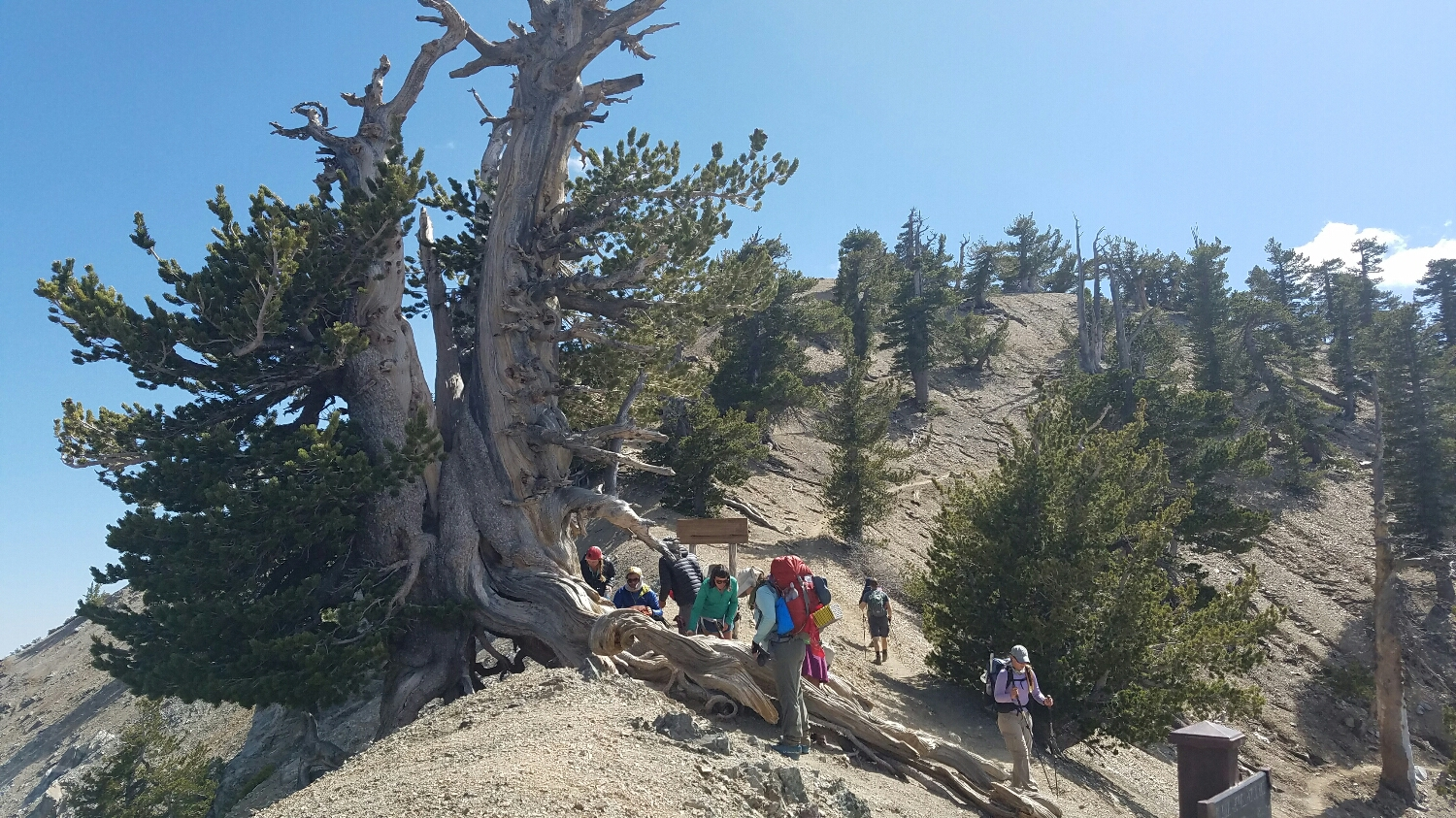 A 1,500 year old pine tree