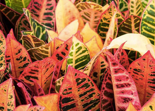 It's not all pumpkins and gourds, bring the warm hues of autumn indoors with a colourful croton 🍁🍂 #salisburygreenhouse #croton #fall #falldecor #indoorplants #tropicalplants