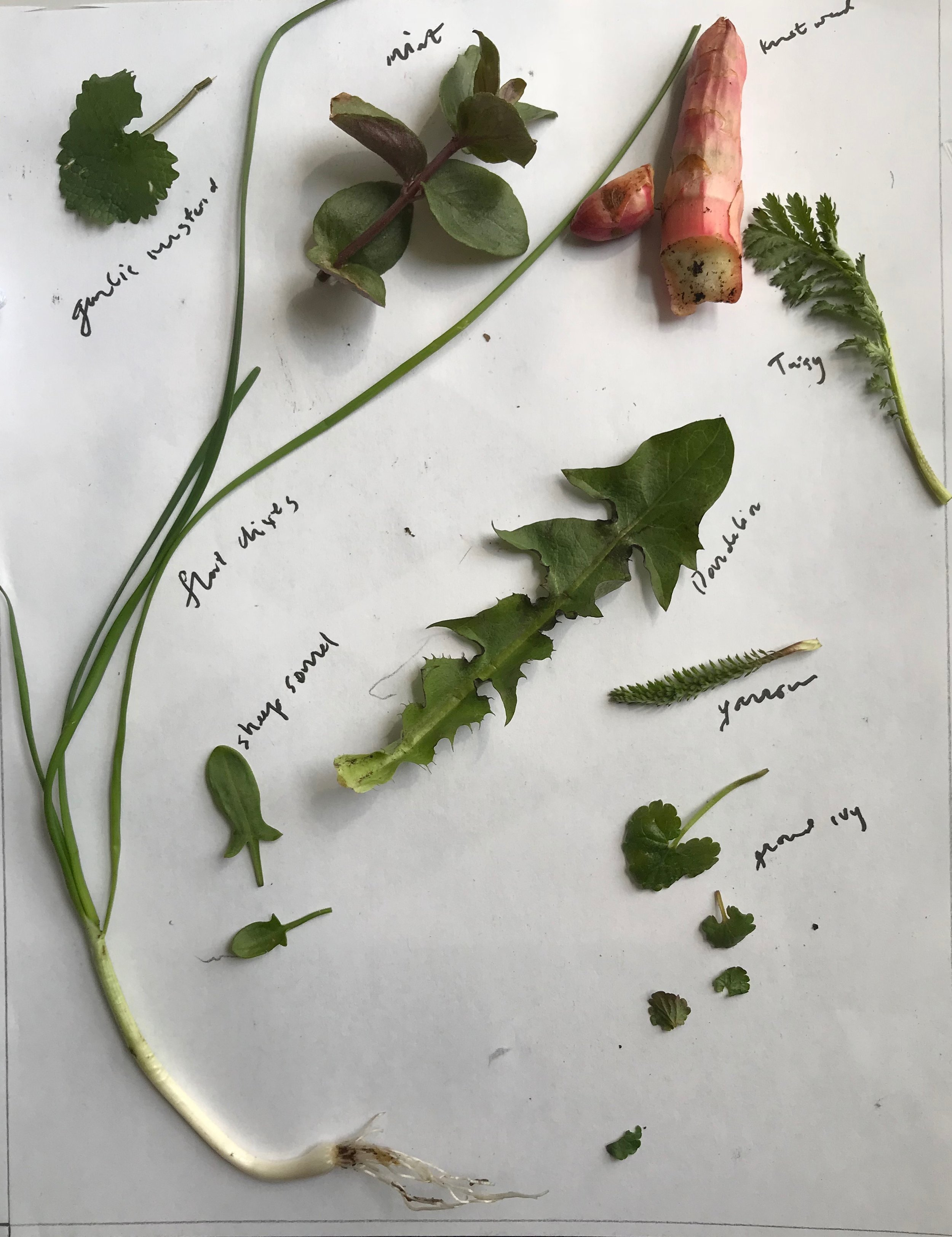 Early Spring 2018.  This is a small collection of some of the early spring edibles we are sure to find on a coming walk. Save the ramp and eat more chives, save your environment and eat the invasives like garlic mustard and knot weed. I especially like them when a bit older, so the mustard is like tiny broccoli heads, and the knot weed is juicy, sour and hollow!
